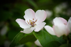Quince flower Stock Photography
