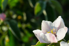 Quince flower blooming around leaves in sunlight Stock Image