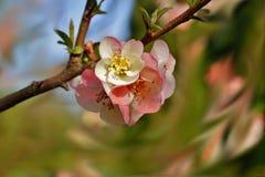 Quince flower - Chaenomeles speciosa. Spring in botanical garden stock image