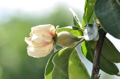 Quince flower with green fruit. Close up of quince flower with small green fruit stock photos