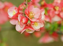 Quince flower ,spring ,botanic garden Stock Photo