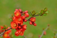 Quince flower ,spring ,botanic garden Stock Image