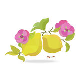Quince and flower on white field Stock Image