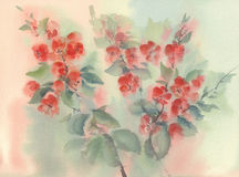 Quince flowering watercolor background Royalty Free Stock Images
