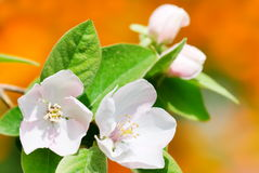 Quince flowers Stock Photo