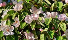 Quince flowers. Beautiful quince flowers in tree background stock images