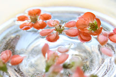 Quince flowers floating in water Royalty Free Stock Photos