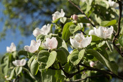 Quince flowers Stock Image