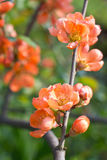 Quince flowers Royalty Free Stock Photos