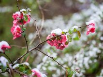 Quince Flowers in Snow Stock Images