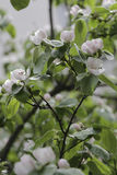 Quince flowers on a tree branch.  Royalty Free Stock Photography