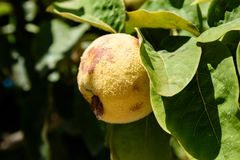 Quince Fruit Or Cydonia Oblonga With Green Leaves Bathing In Sunlight Ready To Be Harvested During Autumn. A close-up shot of a fuzzy quince fruit or Cydonia Stock Photos