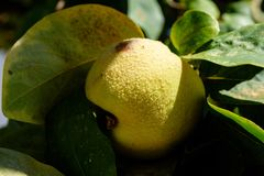 Quince Fruit Or Cydonia Oblonga With Green Leaves Bathing In Sunlight Ready To Be Harvested During Autumn. A close-up shot of a fuzzy quince fruit or Cydonia Royalty Free Stock Photography