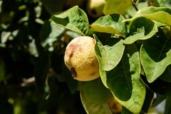 Quince Fruit Or Cydonia Oblonga With Green Leaves Bathing In Sunlight Ready To Be Harvested During Autumn Stock Photos