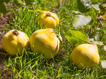 Quince fruit still image over green grass in nature Royalty Free Stock Image