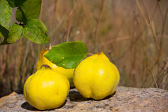 Quince fruit still image over stone in nature Stock Image
