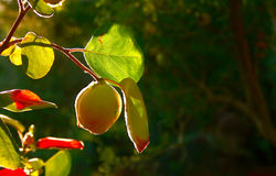 Quince Fruit On Tree Stock Photo