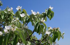 Quince fruit tree blossoms Stock Image