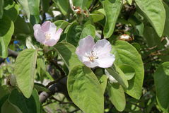 Quince fruit tree blossoms Royalty Free Stock Photography