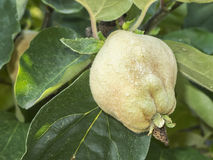 Quince fruit on the tree_near Royalty Free Stock Photography