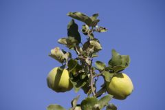 Quince fruits. Two quince fruits on the branch Stock Images