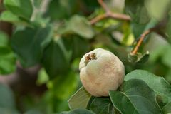 Quince fruits on the tree n the Sonoran Desert. Quince fruits on the tree Close Up with Foliage royalty free stock photo