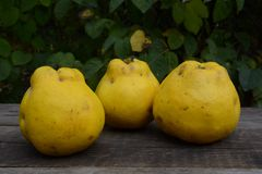 Quince in garden Royalty Free Stock Photography