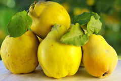 Quince on green background Stock Images