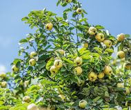 Quince among green leaves on the tree. Stock Photos
