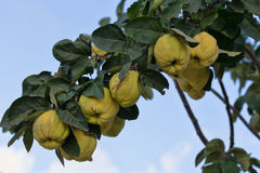 Quince growing on a branch. Against the sky Royalty Free Stock Photos