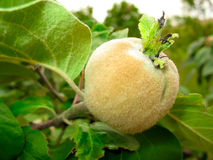 Quince growing on the tree branch. With green leaves Royalty Free Stock Photography