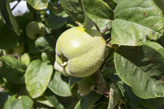 Quince growing on tree Stock Image