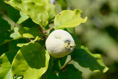 Quince growing on tree Royalty Free Stock Photography
