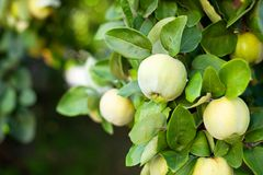 Free Quince Grows On Tree In An Organic Garden. Harvest Concept. Vitamins, Vegetarianism, Fruits. Quinces. Copy Space. Ripe Quince Frui Royalty Free Stock Photo - 161636705