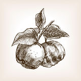 Quince hand drawn sketch style vector Royalty Free Stock Images