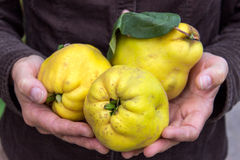 Quince. Hands holding yellow pear quince royalty free stock photography