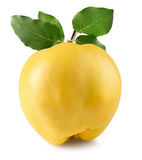 Quince isolated on the white background.  Stock Image