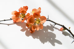 Quince_10. Japanese Quince branch in flowers Royalty Free Stock Images