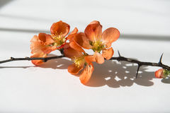 Quince_9. Japanese Quince branch in flowers stock image