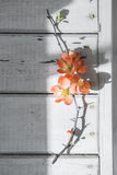 Quince_1. Japanese Quince branch in flowers Stock Photo