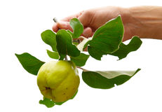 Quince with leaves royalty free stock image