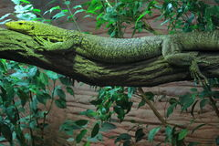 Quince monitor Stock Photos