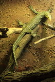 Quince Monitor. The quince monitor (Varanus melinus Stock Photo