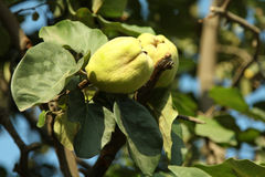 Quince. Organic natural quince on a branch Stock Image