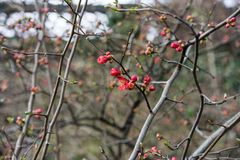 Quince plant with ripe red fruits, chaenomeles speciosa from china. Quince plant with ripe red fruits, chaenomeles speciosa rosaceae stock images