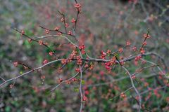 Quince plant with ripe red fruits, chaenomeles speciosa from china. Quince plant with ripe red fruits, chaenomeles speciosa rosaceae royalty free stock photos