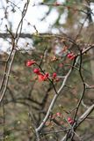 Quince plant with ripe red fruits, chaenomeles speciosa from china. Quince plant with ripe red fruits, chaenomeles speciosa rosaceae stock photo