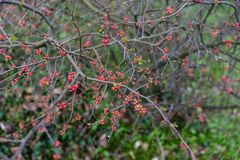 Quince plant with ripe red fruits, chaenomeles speciosa from china. Quince plant with ripe red fruits, chaenomeles speciosa rosaceae stock photography