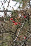 Quince plant with ripe red fruits, chaenomeles speciosa from china. Quince plant with ripe red fruits, chaenomeles speciosa rosaceae royalty free stock image