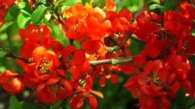Quince. Red flowers. 4K. Quince. Red flowers. Shot in 4K ultra-high definition UHD, so you can easily crop, rotate and zoom, without losing quality! Real time stock footage
